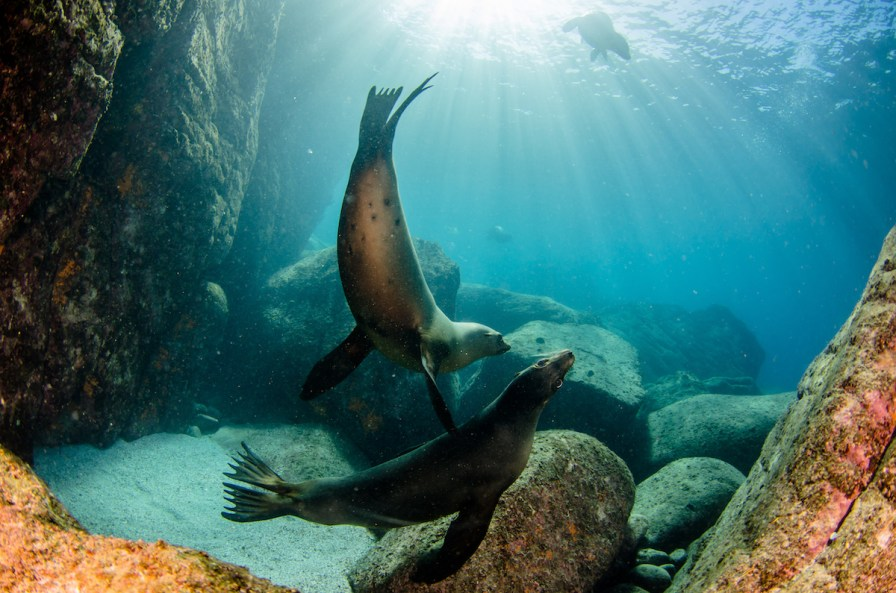Playful sea lions are pretty much guaranteed in La Paz (image courtesy of LiveAboard.com)