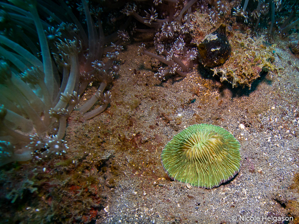 solitary corals