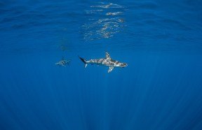 Juvenile smooth hammerheads in the Axores