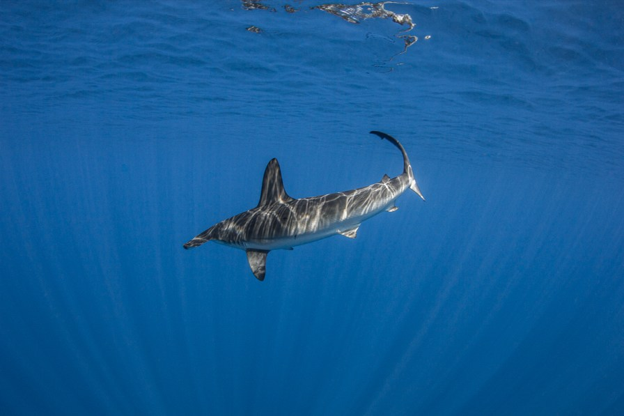 You'll be close to the surface with these beautiful sharks