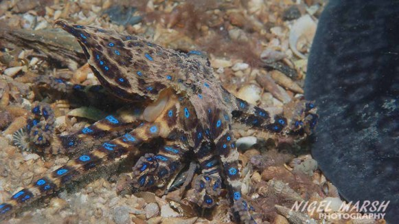 The southern blue-ringed octopus.
