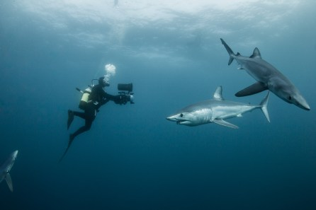 blue and mako sharks in south africa