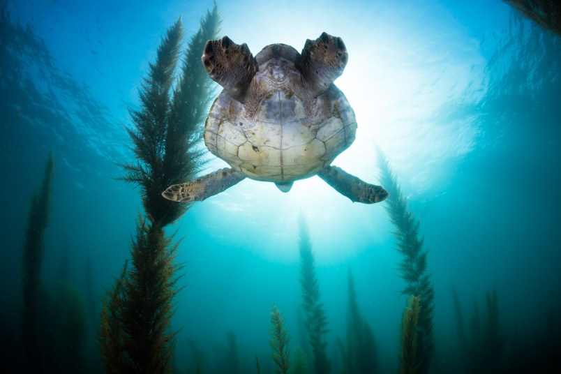 green sea turtles in La Jolla