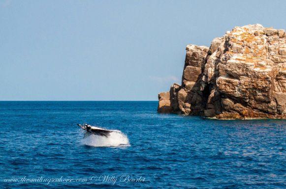 giant oceanic manta jumping