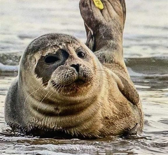 Rescued common seal pup relocates to France