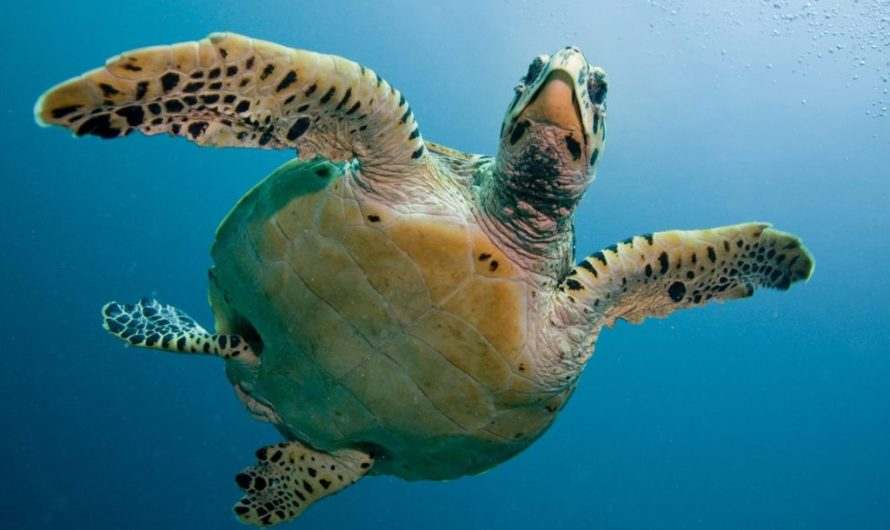 Turtles caught in oil spill treated with mayonnaise