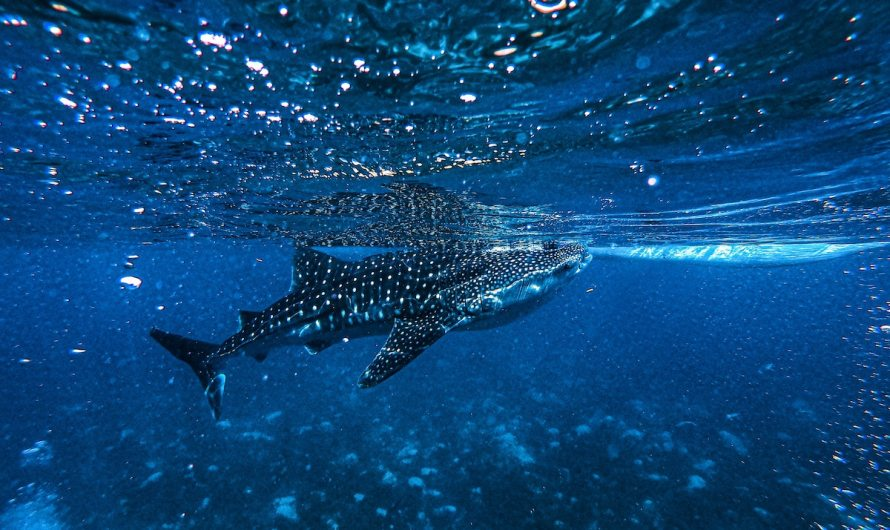 14 idyllic places to swim with Whale Sharks