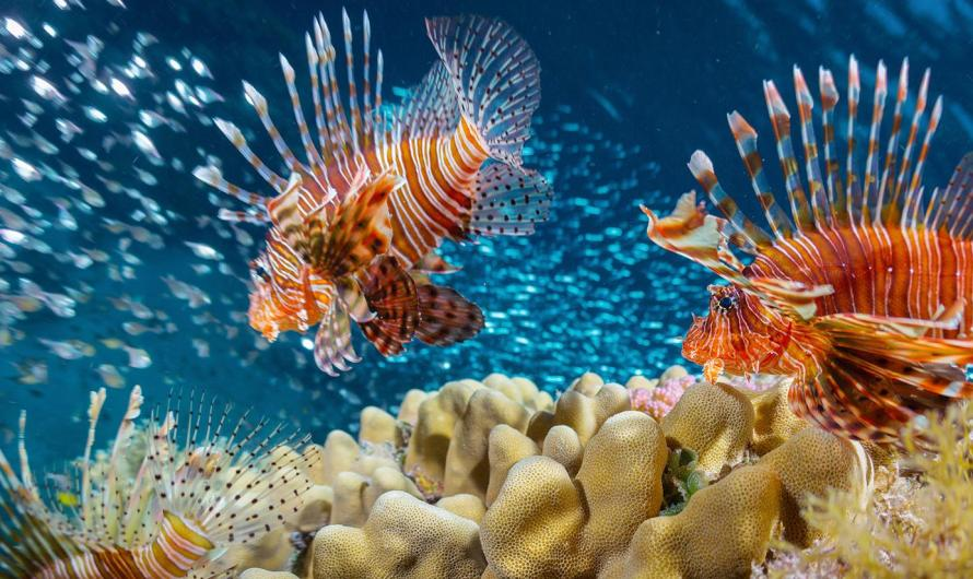 Why Lionfish Are A Problem In Belize