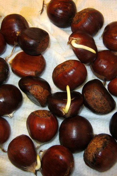 sprouting-chestnuts