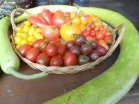 Pomodori di montagna sotto la protezione di Pro Specie Rara