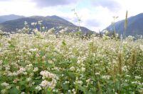 grano saraceno in fioritura - fotografia di Riccardo Finotti