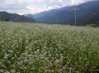 campo di grano saraceno in fioritura - fotografia di Riccardo Finotti