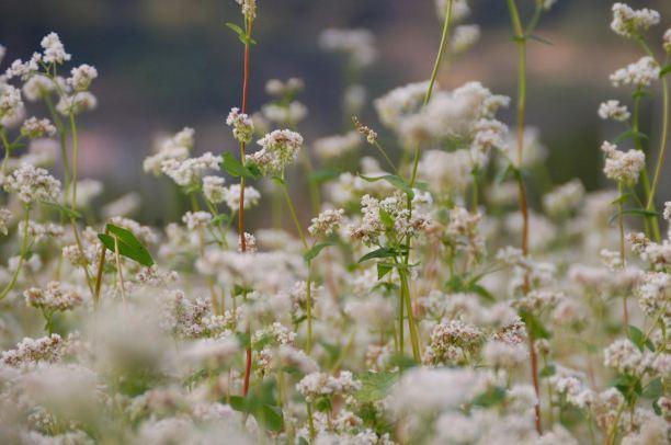 fioritura del grano saraceno - fotogragia di Riccardo Finotti
