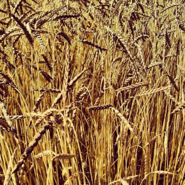 Filiera cerealicola progetto regiograno