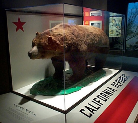 After his death, Monarch was the model for the 1911 version of the California state flag. Today he's on display at the California Academy of Sciences in San Francisco.