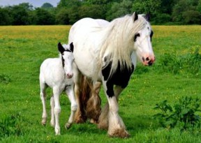 A Gypsy Cob mare and her foal enjoy the lush pastures of SD Farms in England.