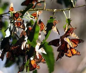 monarchs3