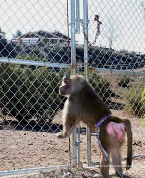 Chrissy the baboon can hardly wait for the next walk on the wild side with humans.