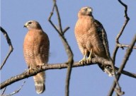 Red-shouldered Hawks. MRCA Photo: Louise Rishoff