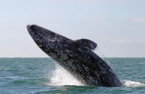 greywhale