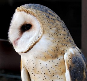 barnowl_scooter1