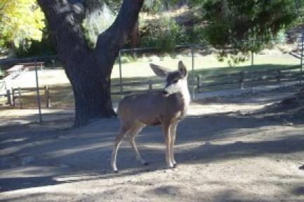 Deer Abby at Hart Park   Photo: Friends of Hart Park & Museum