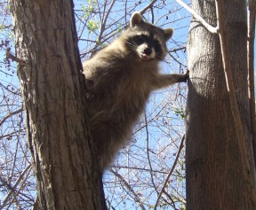 raccoon3