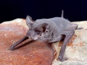 First Rabid Bat Of The Season Reported in Agua Dulce