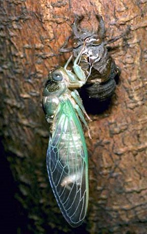 cicada6