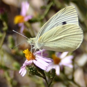 Cabbage white with the wings closed showed the under surface. There is a greenish-yellow base color of the hind wing. The forewing spot shows through but not the apical gray cap.