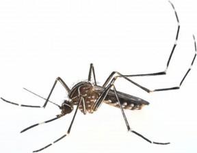 aussiemozziemosquito