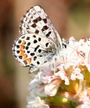 An El Segundo blue nectaring on sea cliff buckwheat. Photos by Paul A. Levine.