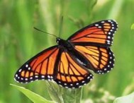 A viceroy butterfly mimics the appearance of the monarch and hence is also protected.