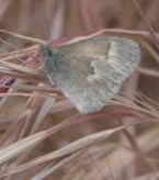 The California ringlet flies in an erratic pattern close to the ground and prefers to be around dried grasses. When it abruptly sets down, it is difficult to see.