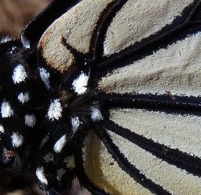 Figure 1:  the tan and black scales can be seen at the base of the wing of a Monarch butterfly.  The larger and longer scales (individually black or white) are on the body and appear to be hairs but they are actually pigmented scales.