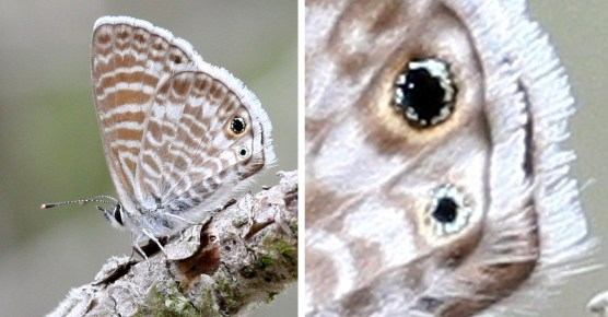 Figure 4. The Mrine blue.  The small eyespots on the hindwing have a circle of iridescent blue but one needs a perfect specimen to see this combined with the ability to get close requiring either a mounted specimen, good binoculars or a camera.
