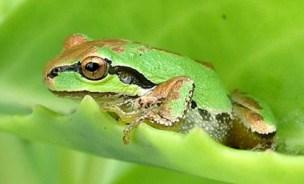 pacific-chorus-frog 2
