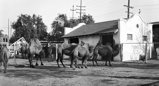 Group_of_camels