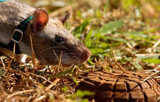 Rats2