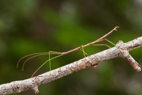 walkingstick2