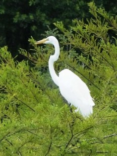 Great E\egret actually standing in a small tree. The neck demonstrates the classic curvature although it is capable to straightening it. Photos by the writer except as noted.