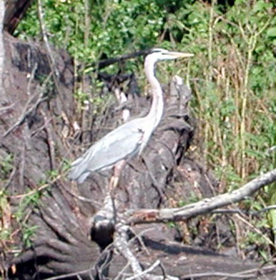 Great blue heron on a dead tree by the side of a lake.