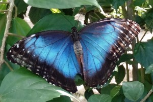 Fig. 7: The Helena morpho's large patches of blue make it popular in butterfly parks.