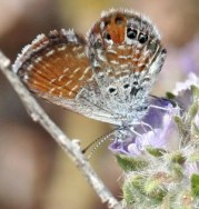 Fig. 9: Western pygmy blue
