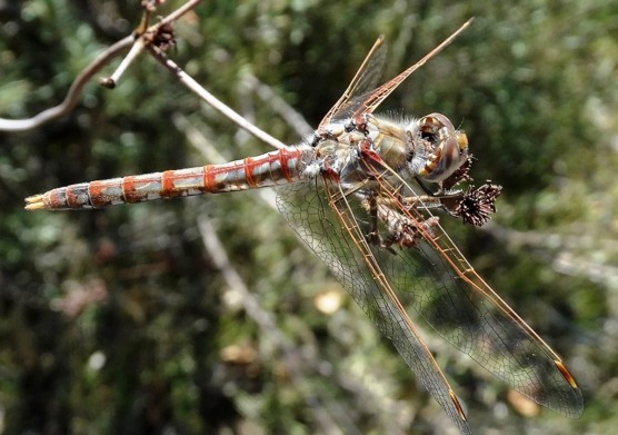 Fig. 12: Variegate meadowhawk, a species of dragonfly photographed in Placerita Canyon. The wings are clear, and while there is some pigment along the veins, the wings have no scales, and dragonflies are extremely powerful and fast fliers.