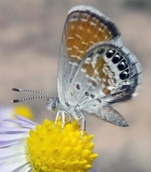 One can easily count three legs on the Western pigmy blue butterfly. There are three more on the other side of the thorax for a total of six.
