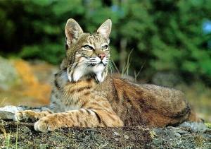 bobcats02