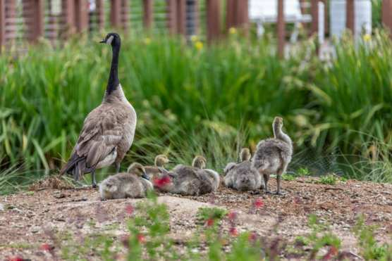 A family of geese rests near Bridgeport Marketplace Lake in Valencia. | Photo: Cory Rubin/The Signal.