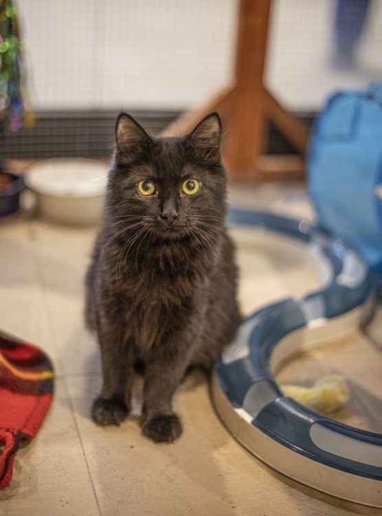 Sadie, a black cat cared for by Shelter of Hope, sits in a window display for the non-profit pet store, on December 28, 2019. | Photo: Bobby Block / The Signal.