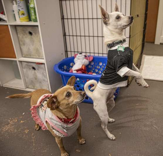 Peanut and Chewy watch in their enclosure as customers pass by at the Shelter Hope pet shop in Valencia, on December 28, 2019. | Photo: Bobby Block / The Signal.